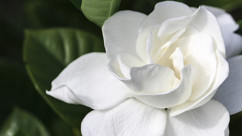 gardenias-are-warm-weather-favourites_1551154938162