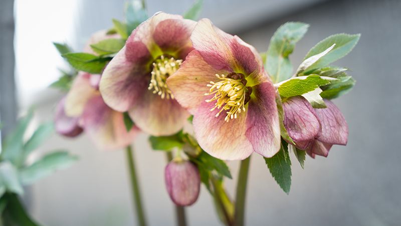 hellebores-roses-of-winter_1551154924277