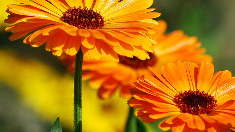 how-to-grow-calendula_1551154920412