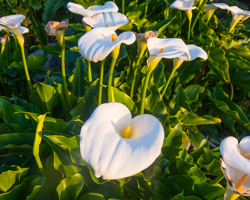 how-to-grow-calla-lilies_1551154937055