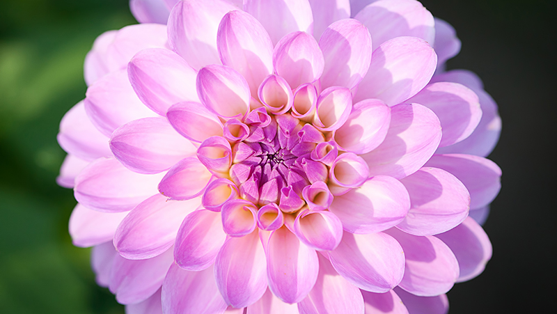 how-to-grow-dahlia_1551154923476