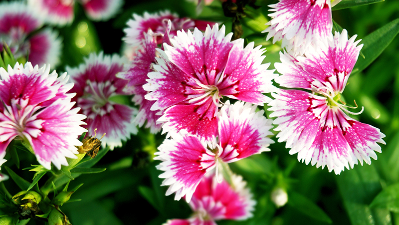 how-to-grow-dianthus_1551154928850