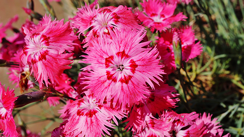 how-to-grow-dianthus_1551154955868