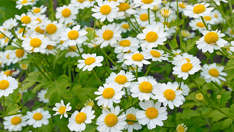 how-to-grow-feverfew_1551154923140