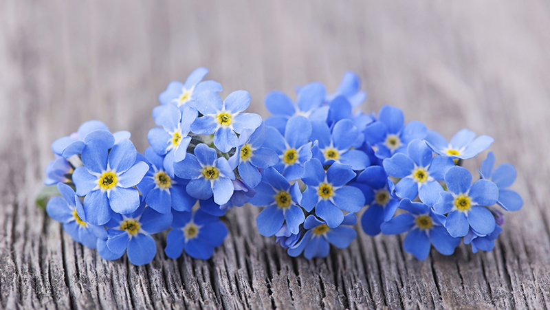 how-to-grow-forget-me-nots_1551154937932