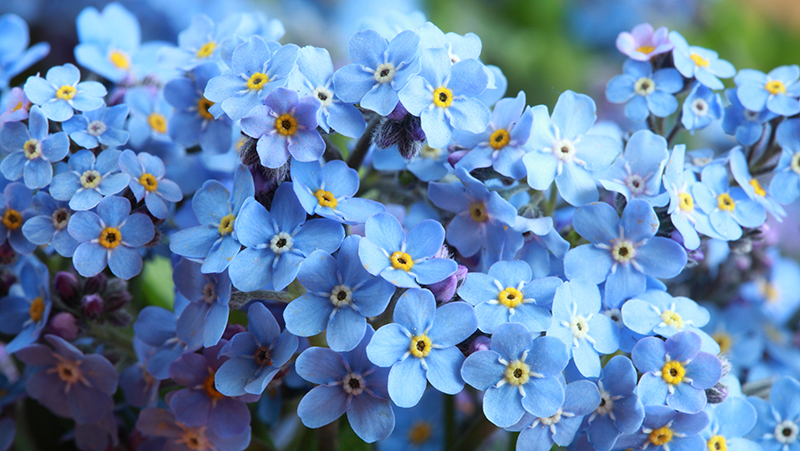 how-to-grow-forget-me-nots_1551154957835