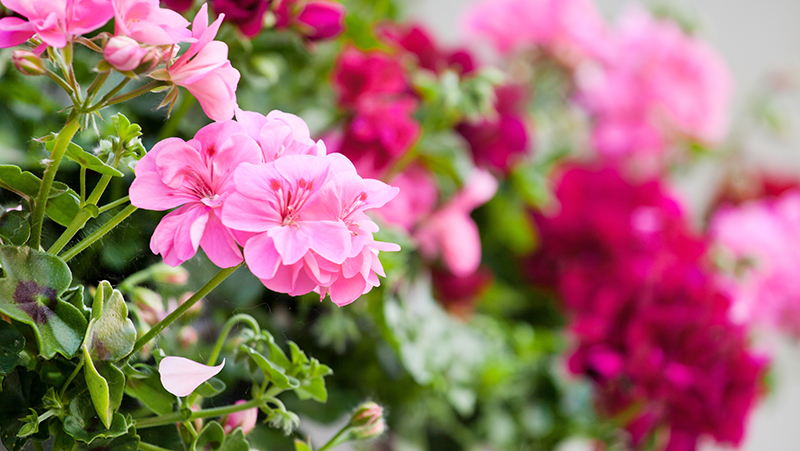how-to-grow-geranium_1551154958959
