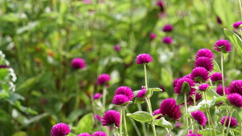 how-to-grow-gomphrena_1551154933762