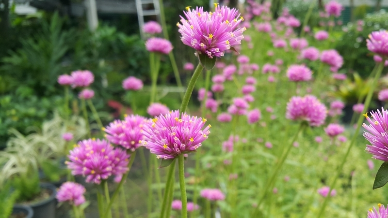 how-to-grow-gomphrena_1551154957718