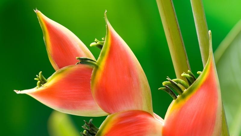 how-to-grow-heliconia_1551154948454
