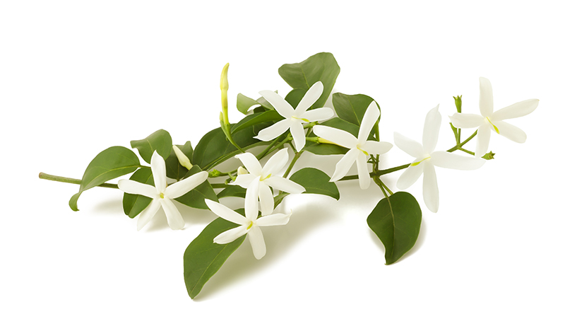 how-to-grow-jasmine_1551154955968