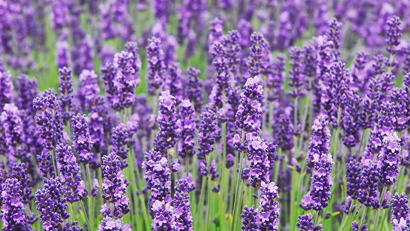how-to-grow-lavender_1551154945680