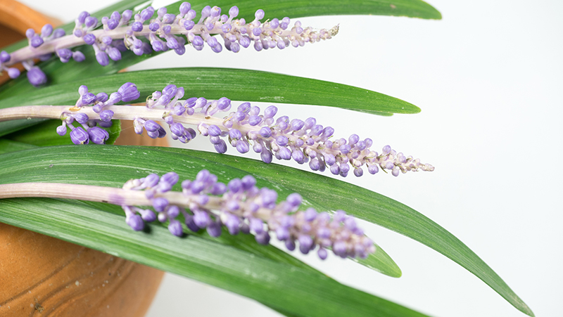 how-to-grow-liriope_1551154929602