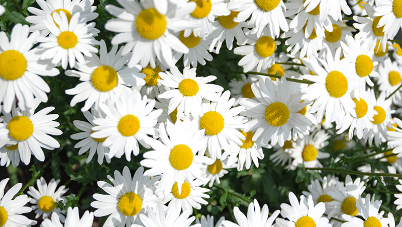 how-to-grow-marguerite-daisies_1551154930236