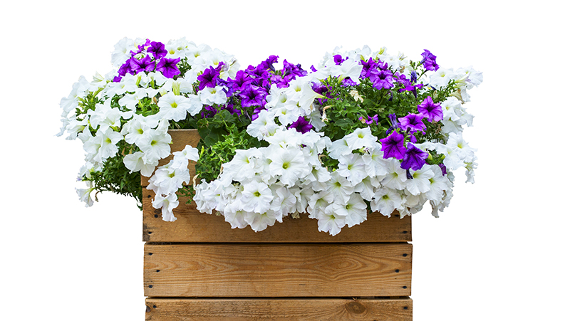 how-to-grow-petunias_1551154916764