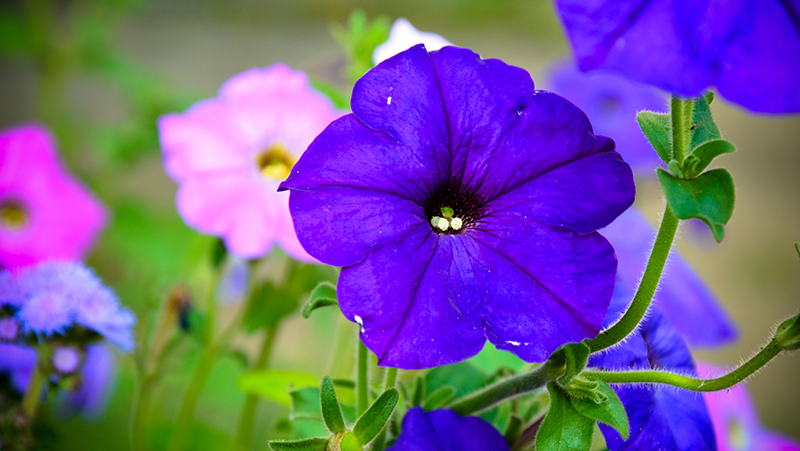 how-to-grow-petunias_1551154926318