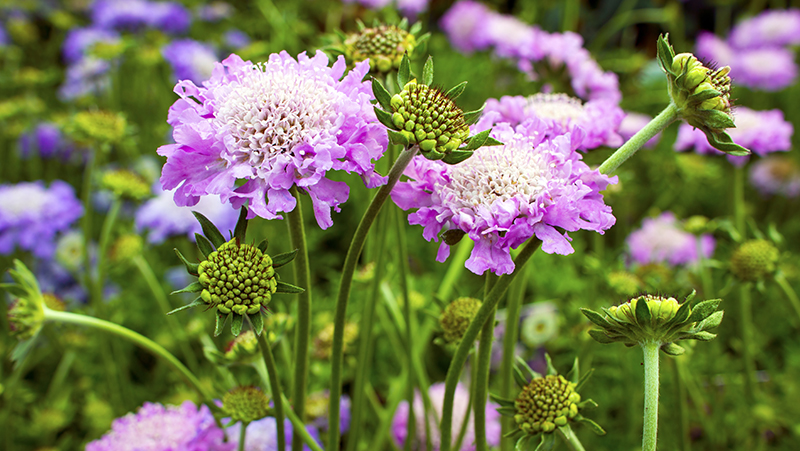 how-to-grow-pincushion-flower_1553581299413