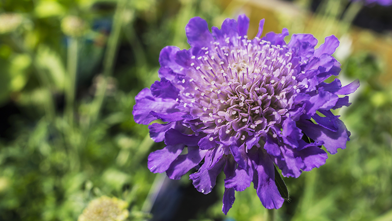 how-to-grow-pincushion-flower_1553581303066