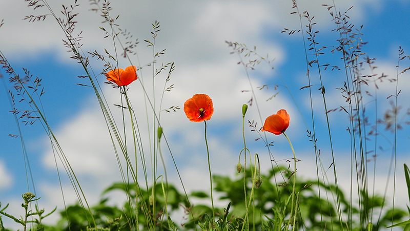 how-to-grow-poppies_1551154924286