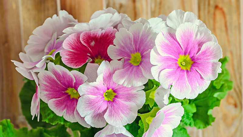 how-to-grow-primulas_1551154913298