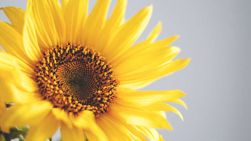 how-to-grow-sunflower_1551154927111