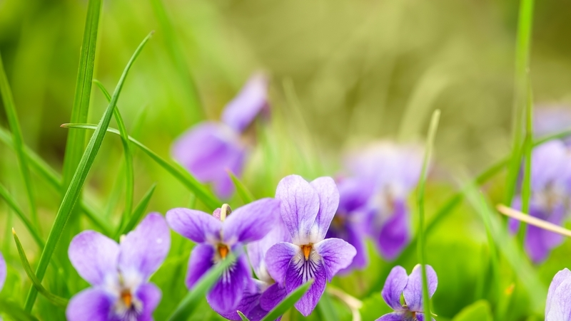 how-to-grow-sweet-violet_1551154919781