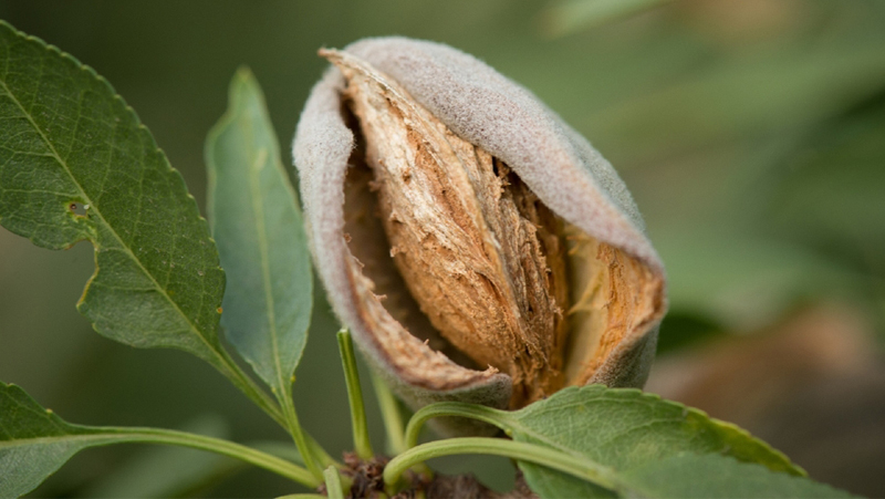how-to-grow-almond_1551160482189