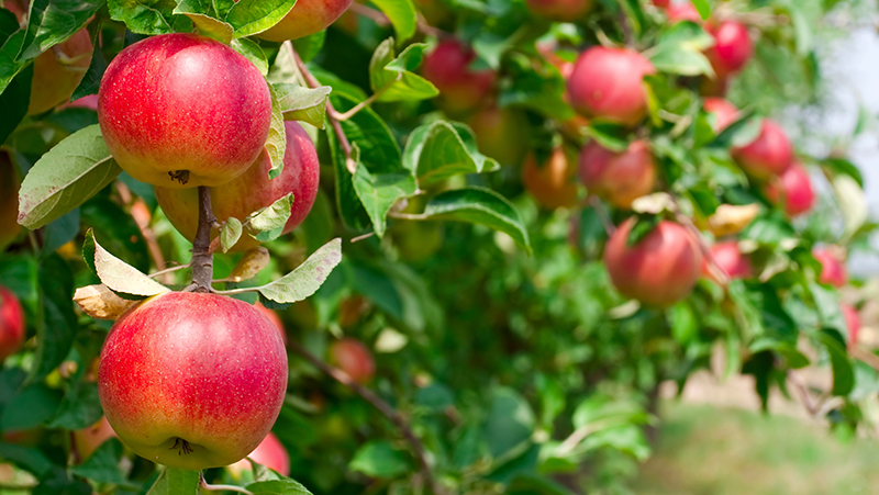 how-to-grow-apple_1551154999834