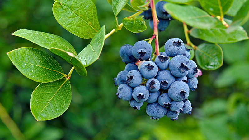 how-to-grow-blueberries_1551154996250