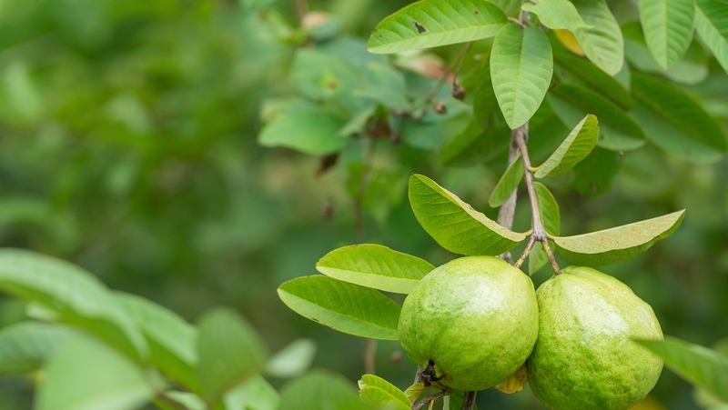 how-to-grow-guava_1551160474340