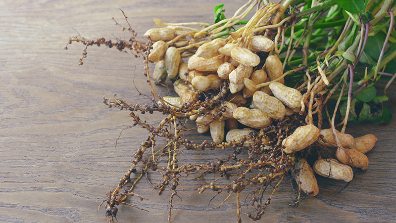 how-to-grow-peanuts_1551155001915