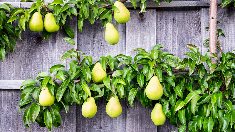 how-to-grow-pear_1551155007433