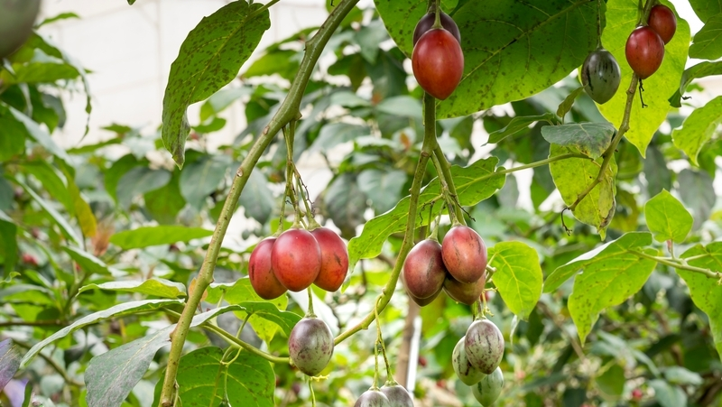 how-to-grow-tamarillo_1551155008147