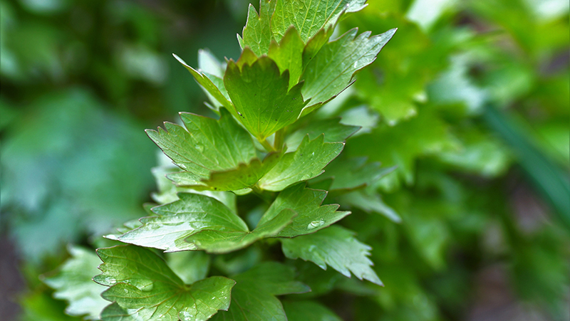 how-to-grow-lovage_1551160327203