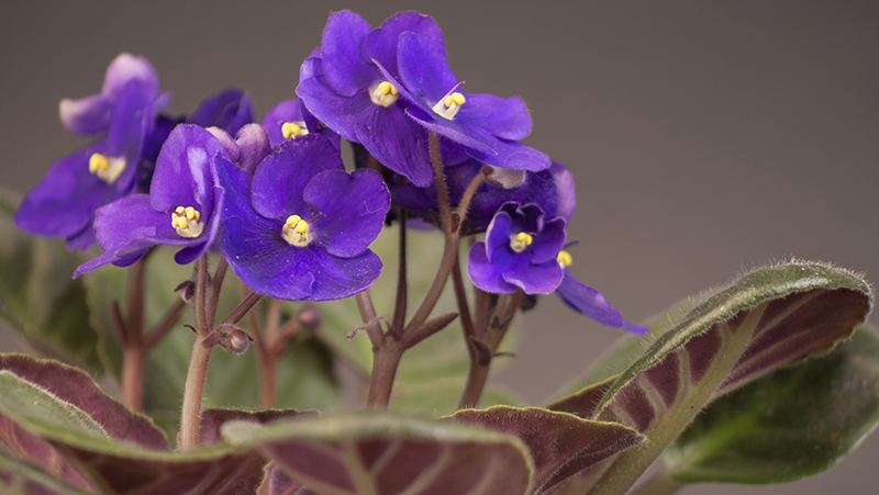 how-to-grow-african-violet_1563513434806
