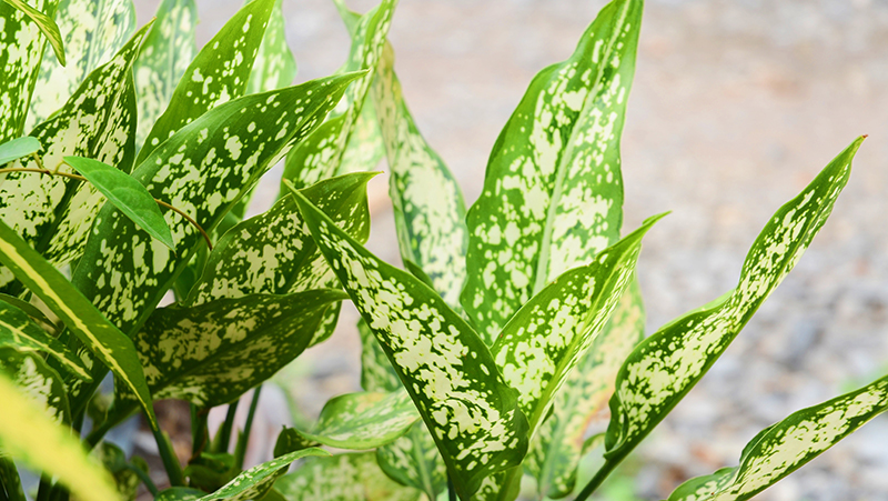 how-to-grow-aglaonema_1551846580119