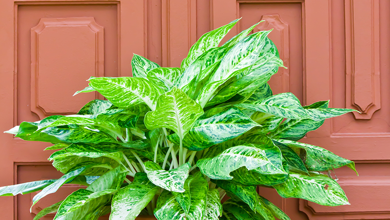 how-to-grow-aglaonema_1551846582071