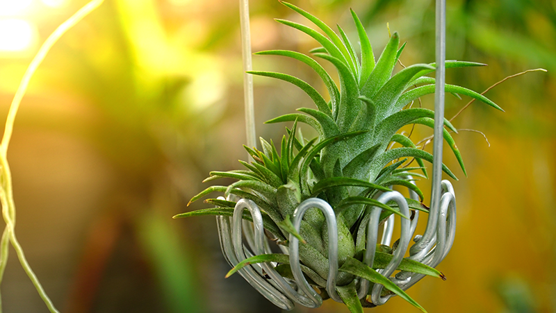 how-to-grow-air-plants_1563863331547