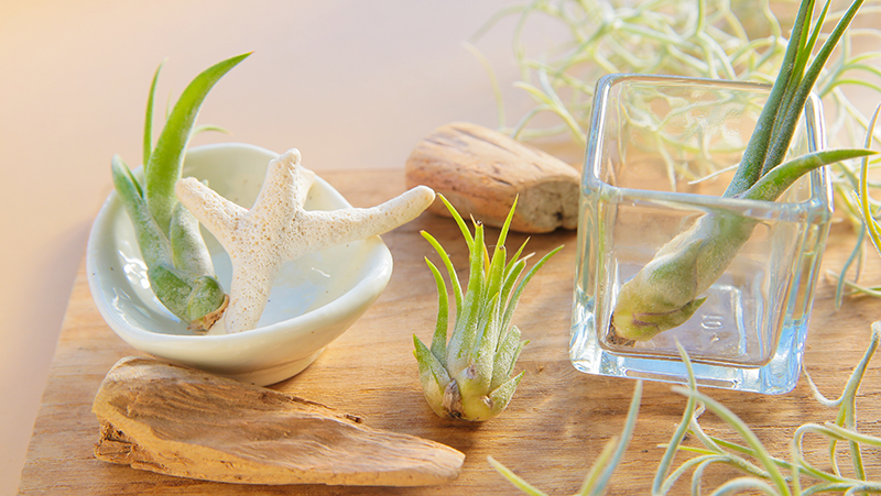 how-to-grow-air-plants_1563863336776