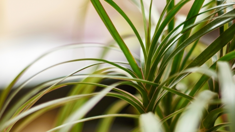 how-to-grow-dracaena_1551847776903