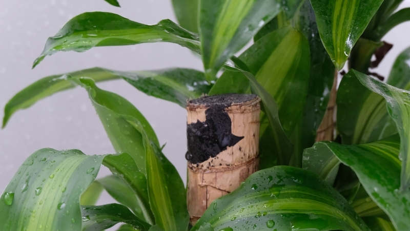 how-to-grow-dracaena_1551847777762