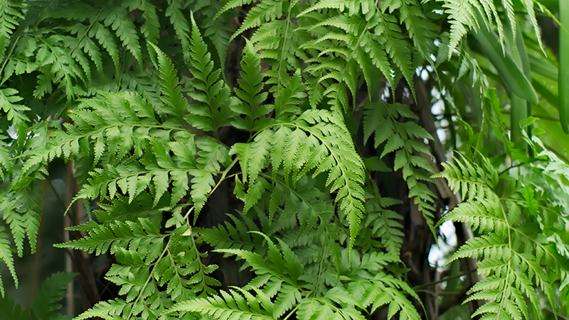 how-to-grow-hares-foot-fern_1552017781132