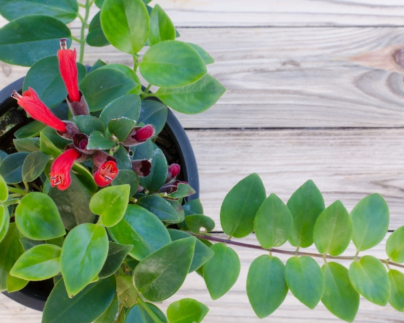 how-to-grow-lipstick-plant_1551160340905