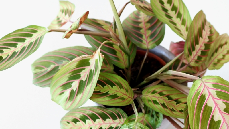 how-to-grow-prayer-plant_1551160340707