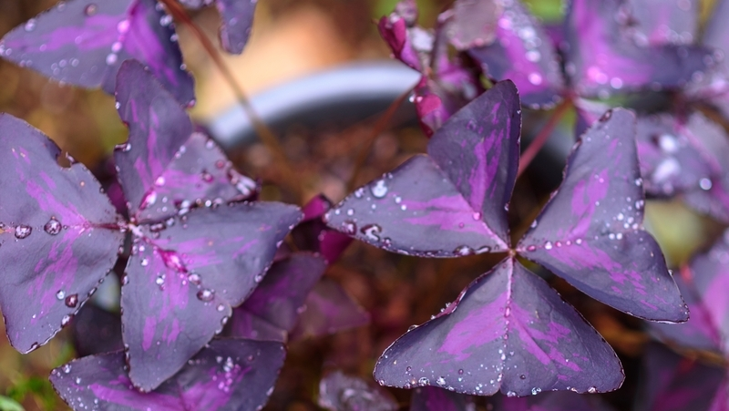 how-to-grow-purple-shamrock_1551160340623