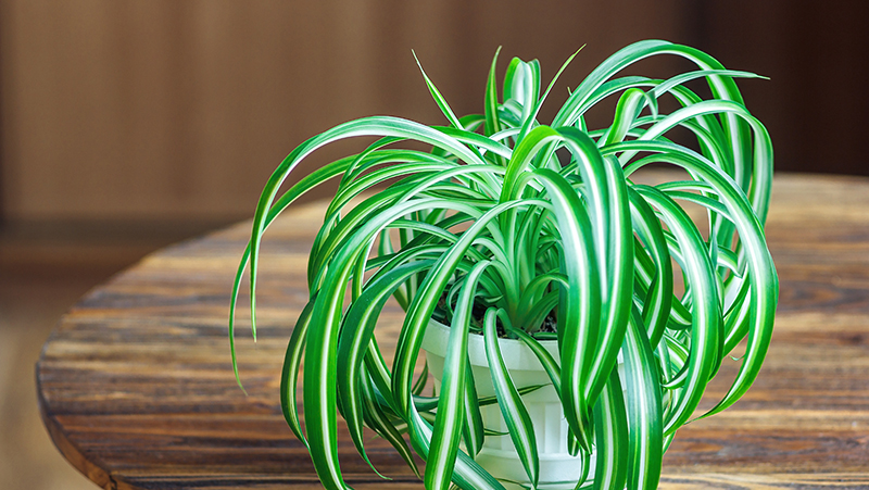 how-to-grow-spider-plant_1551160339654