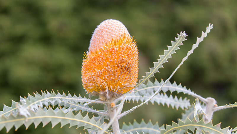 how-to-grow-banksia_1551160406417