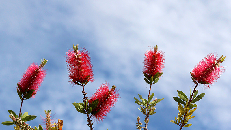 how-to-grow-bottlebrush_1551160389516