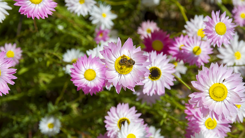 how-to-grow-everlasting-daisies_1551160407367