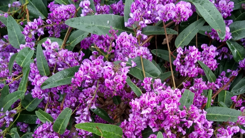 how-to-grow-hardenbergia_1551160406786